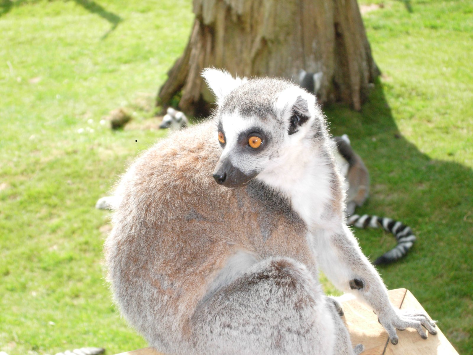 ringtailedlemur.jpg