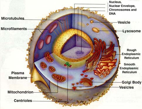 Animal Cell Model Labeled