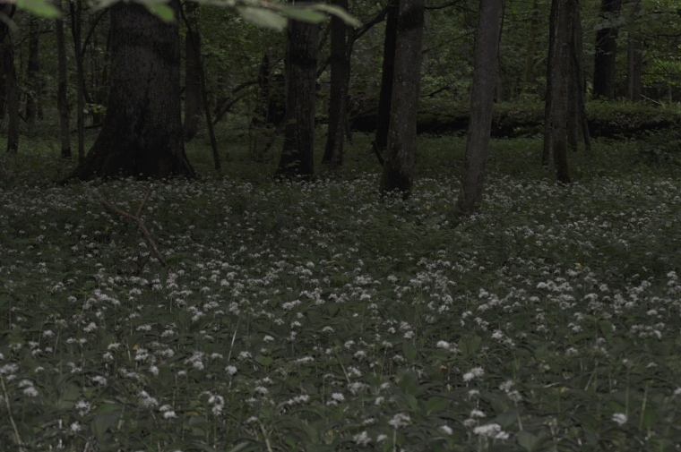 wildgarlic1.JPG